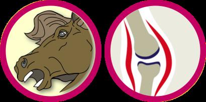 Pferd-Gebiss-Skelett-Knochen-Gelenke-k